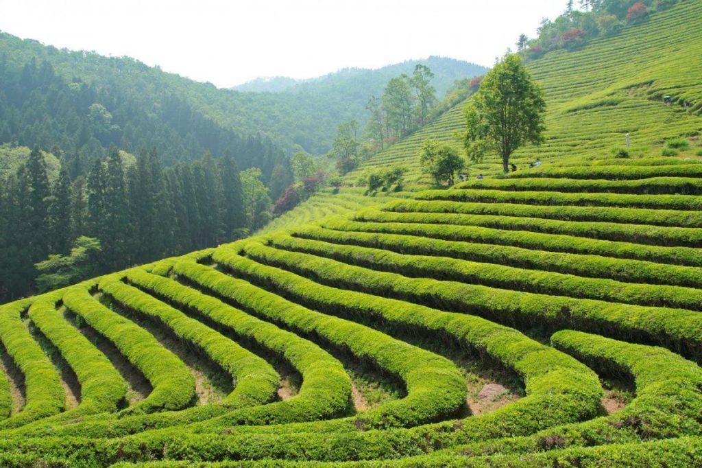 мацеста чайные плантации